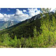Trembling Aspen trailside on the Paradise trail.