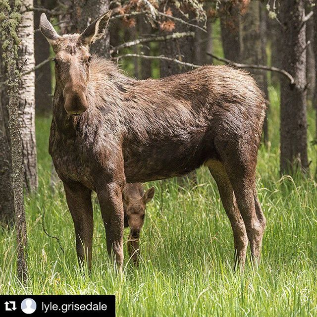 What a great shot of #Moose mom & calf. IG Repost @lyle.grisedale ・・・ You need to stay alert while roaming around in the woods these days, there are moms with new babies there and they can be very protective. #moose #mykimberley #kimberleybc #agoodplacetobe #letsexplore #explorecanada #canada #greatnature #kootenaylife #photooftheday #picoftheday #exploreBC #canadiannature #shareCG #WildLookOutside @hellobc #fantastic_earth #thisisearth #natureaddict #greatnature @nature #rockymountianlife