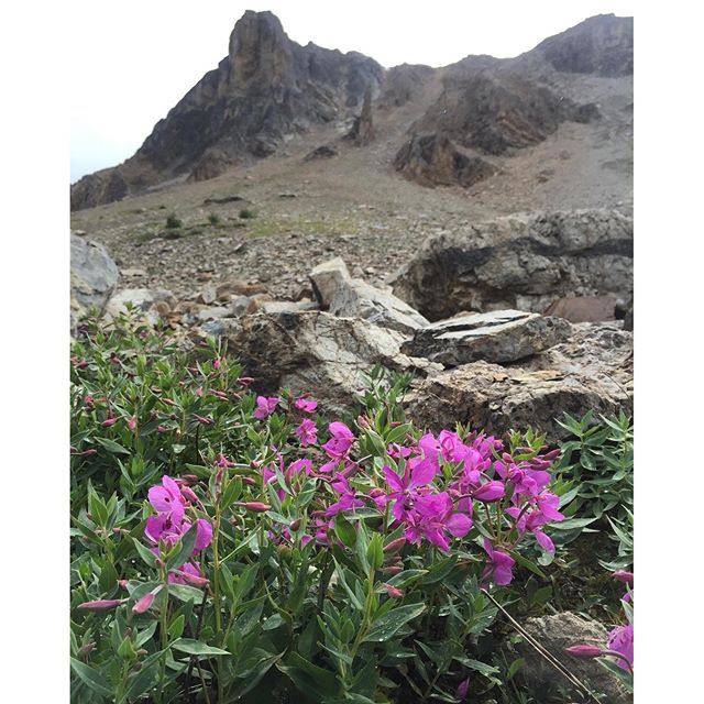 It's #wildflower season. #panoramabc #invermere #banff #canmore #canadianrockies