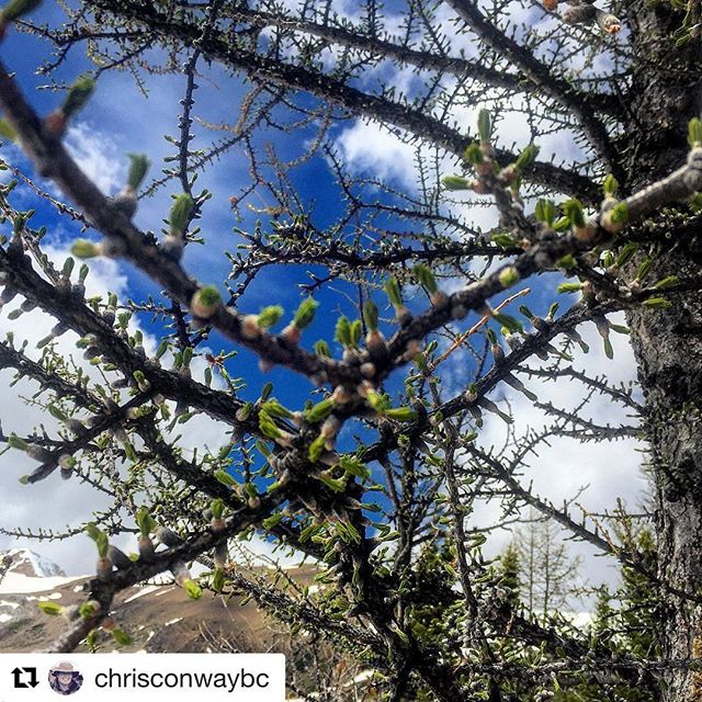 #Repost @chrisconwaybc ・・・ The Alpine #Larches are greening up with new needles for summer. In only 90 days they will be turning gold. Summer is short at 8000'  #tobycreekadventures