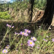 #AlpineDaisy on the rim of Forster Creek canyon. #Wetlands and …