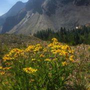 #Arnica #wildflowers #paradisemine #tobycreekadventures