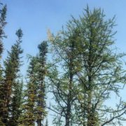 First hint of #Fall – a few of the #Larches …