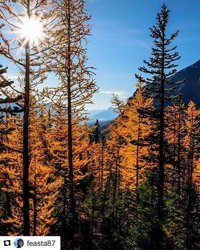 Repost from @feasta87 ・・・ Fall has never looked so beautiful than this year for the golden #larches . Hot weather to cold cold has got these colours POPPING more than ever 👌🏻😍🌲