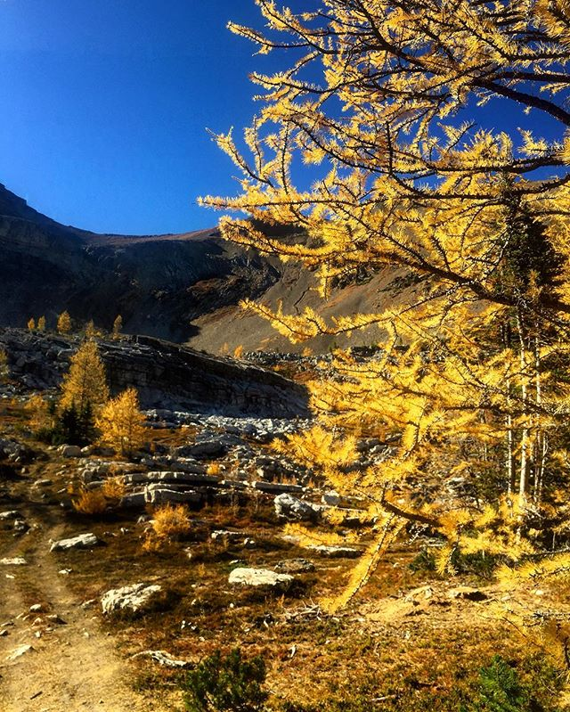 Big blue sky and brilliant gold #Larches. #ParadiseBasin #ATVtours #Fall2017