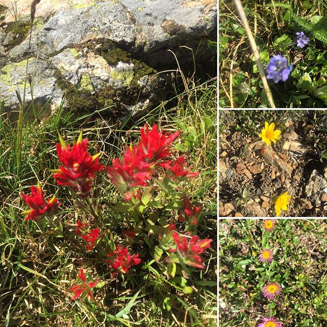 July and August are the perfect months to experience the amazing variety and  colourful display of alpine #flowers at Paradise. . #tobycreekadventures #atvtours #canadianrockies #banff #panoramamountainresort #invermere