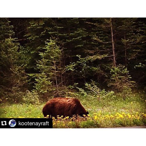 Kootenay River Runners get to see wildlife on trips!!