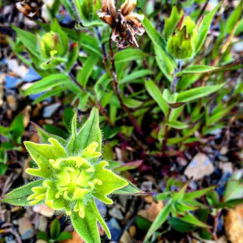 Flower season is short in the high alpine.