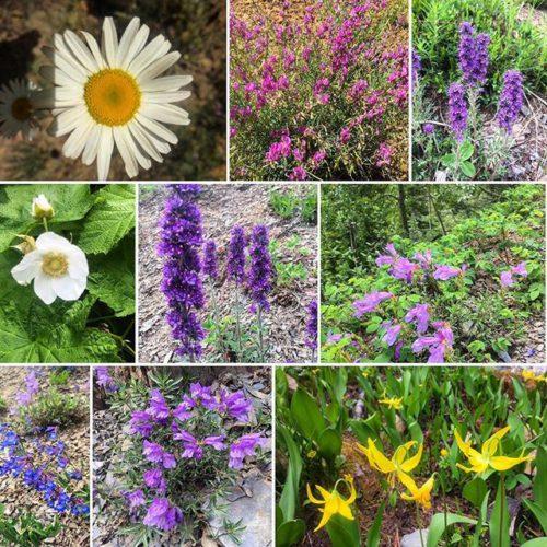 Trailside #wildflowers on the way to #ParadiseRidge. #tobycreekadventures