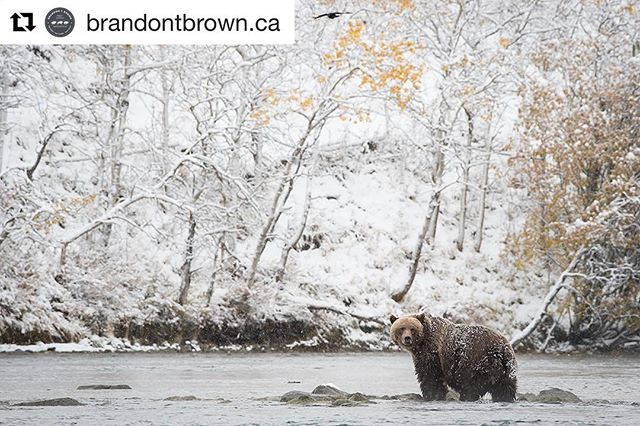 #BrandonTBrown is a professional wildlife photographer in the #CanadianRockies. Brandon's matted prints are available for purchase in our gift shop. A perfect #Christmas gift for someone special so be sure to check them out after your #ATV or #snowmobile tour.  Repost from @brandontbrown.ca ・・・ Gorgeous female grizzly bear from BC's interior. We got close to a ft of snow over 2 days and although it was a little chilly the snow made for some added intrigue to some already captivating subjects. #beautifulbc #explorebc #gladthetrophyhuntisdone #photooftheday #igdaily #grizzly #bear #ursosarctos @travel_bc @cangeo #cangeo @bbcearth