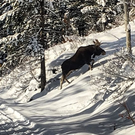 CHRISTMAS MOOSE !! . One of our one hour #snowmobiletour groups recently had an amazing opportunity to watch this #moose crossing the trail. . Photo: Dean Daniele (guide) . #tobycreekadventures #panoramabc #banff #canadianrockies #wildlife #purecanada #christmas