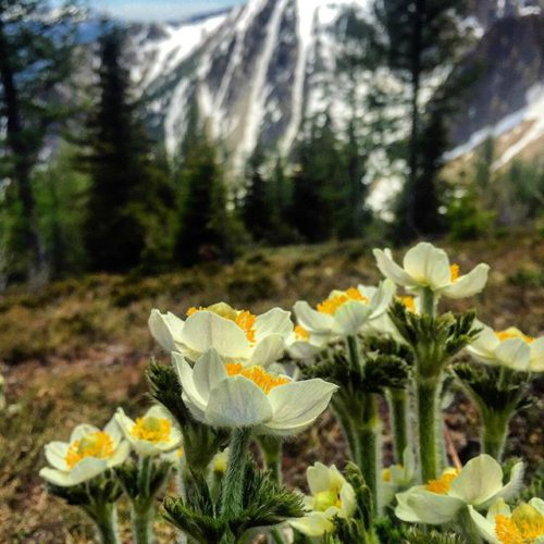Alpine Crocuses !! . . #tobycreekadventures #warmsideoftherockies #purecanada #wildflowers