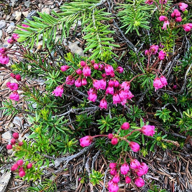 Trailside Wildflowers : Pink Mountain Heather. Found in sunny upper sub-alpine forest and meadows. #tobycreekadventures #warmsideoftherockies #purecanada #purcellmountains #canadianrockies #atvtours #utvtours #nature #wildflowers #alpine #forest #mountains #heather