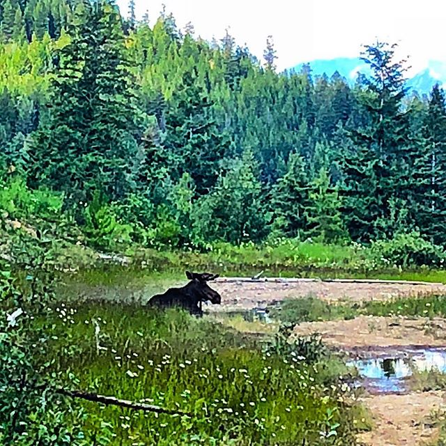 After a long day doing moose stuff, it's good to just relax in a puddle! ? . . #tobycreekadventures #wildlifetours . ?: @chrisconwaybc
