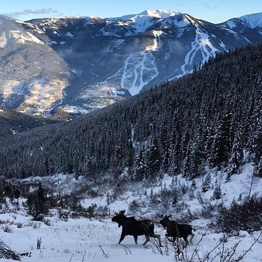 Check out this photo of two moose along the trail to Paradise Basin. This photo was captured a few days ago as our crew was working to prepare the trail for our OPENING DAY today!! . . #tobycreekadventures #panoramamountainresort #canadianrockies  #moose #wildlife #warmsideoftherockies #banff #canmore #invermere #kootrocks #explorebc #canada ???????? . . ????: @mitchsnow2